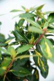 710-04011 Rhododendron 'Goldflimmer' Różaneczn…ldflimmer' (2)