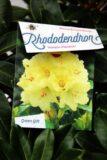 710-04012 Rhododendron 'Horizon Monarch' Różanecznik 'Horizon Monarch' 2