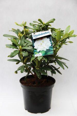 710-04013 Rhododendron 'Madame Masson' Różan…me Masson1