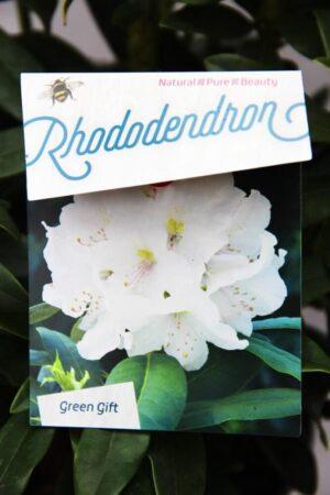 710-04013 Rhododendron 'Madame Masson' Różan…me Masson2