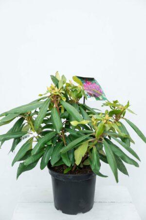 710-04015Rhododendron 'Marcel Menard' Różanec…l Menard' (1