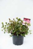 710-04046 Rhododendron (AJ) 'Izumi-no-mai' Różanecznik 'Izumi-nomai (1)