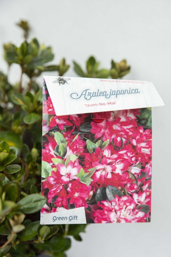 710-04046 Rhododendron (AJ) 'Izumi-no-mai' Różanecznik 'Izumi-nomai (3)