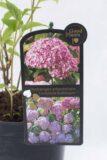 710-04504 Hydrangea arborescens Hortensja krzewiasta 'Candybelle Bubblegum' (1)