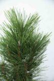 710-04525 Pinus nigra 'Pyramidalis' sosna czarna 'Pyramidalis' (2)