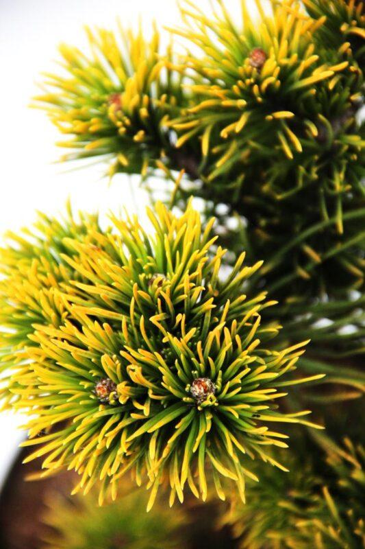 710-04527 Pinus mugo 'Carsten' sosna kosodrzewina 'Carsten' 2