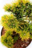 710-04527 Pinus mugo 'Carsten' sosna kosodrzewina 'Carsten' 3