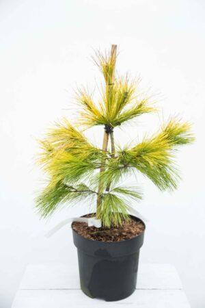 710-04528 Pinus strobus 'Louie' Sosna wejmutka 'Louie' (1)