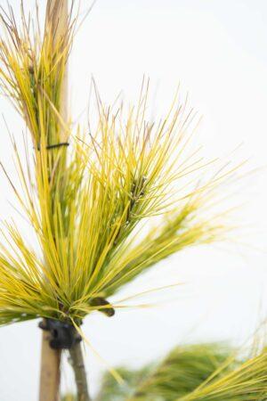 710-04528 Pinus strobus 'Louie' Sosna wejmutka 'Louie' (2)