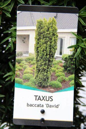 710-04532 Taxus b. 'David' Cis pospolity 'David' 2
