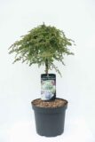 710-04539 Juniperus comm. 'Greenmantle' Jałowiec pospolity 'Greenmantle' (1)
