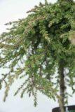 710-04539 Juniperus comm. 'Greenmantle' Jałowiec pospolity 'Greenmantle' (2)