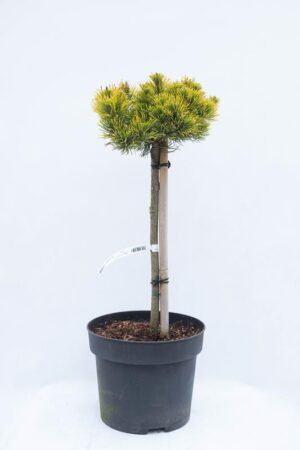 710-04541 Pinus mugo 'Carsten's Winter Gold' sosna kosodrzewina 'Carsten' (1) (Copy)