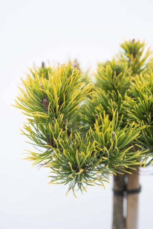 710-04541 Pinus mugo 'Carsten's Winter Gold' sosna kosodrzewina 'Carsten' (2) (Copy)