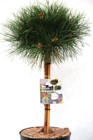 710-04542 Pinus Bambino Sosna czarna Bambino 2