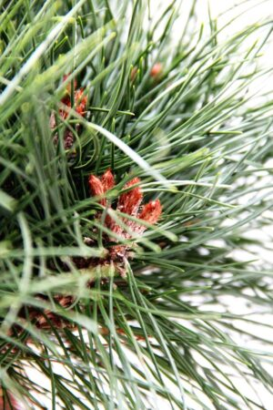 710-04542 Pinus Bambino Sosna czarna Bambino 3