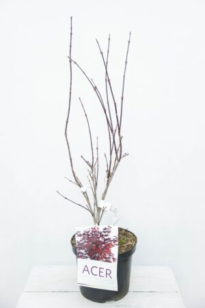 710-04543 Acer pal. 'Atropurpureum' klon palmowy 'Atropurpureum'