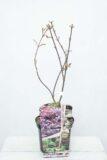 710-04547 Acer pal. 'Skeeter's Broom' Klon Palmowy 'Skeeter's Broom'