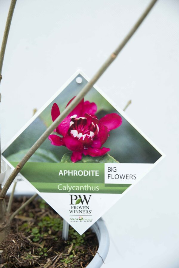 710-04552 Calycanthus flor. 'Aphrodite' Kielichowiec 'Aphrodite' (2)