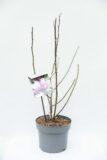 710-04559 Magnolia 'Betty' Magnolia 'Betty' (1)