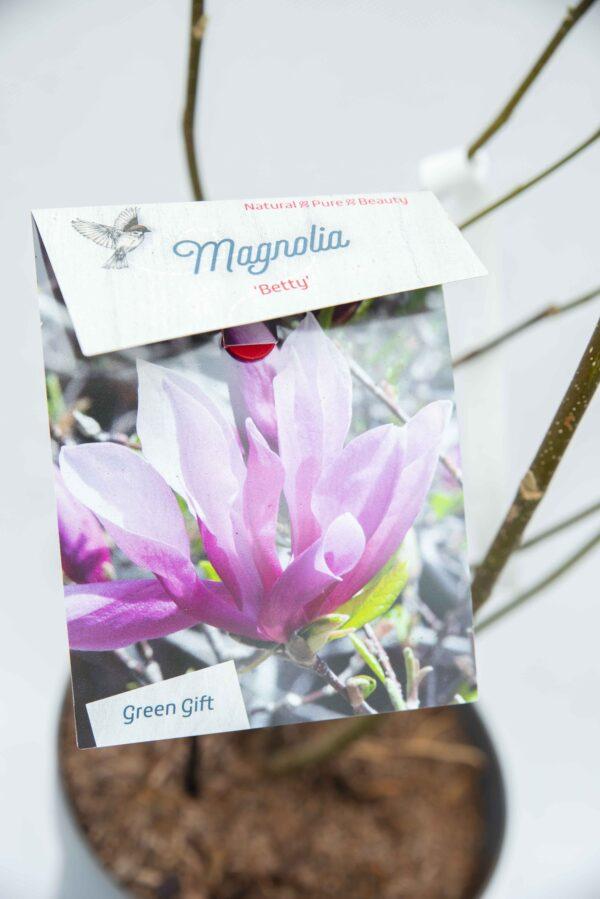 710-04559 Magnolia 'Betty' Magnolia 'Betty' (2)