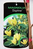710-04560 Magnolia 'Daphne' Magnolia 'Daphne' 2