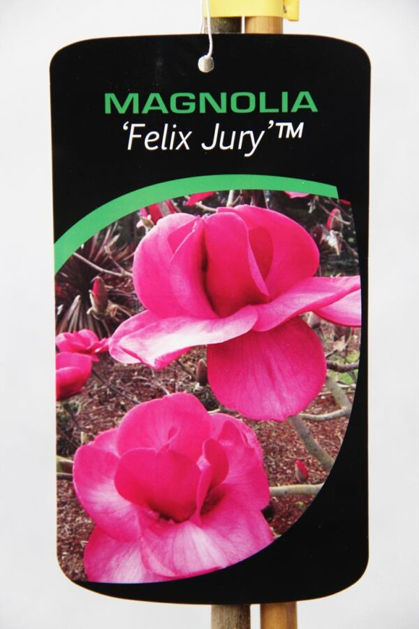 710-04561 Magnolia 'Felix Jury' Magnolia 'Felix Jury' 2