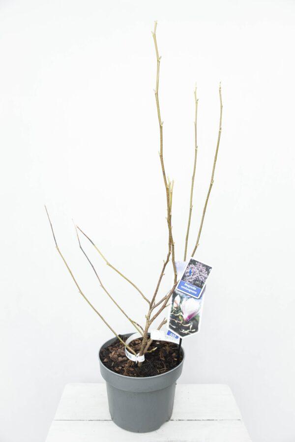 710-04564 Magnolia soulangeana Magnolia pośrednia