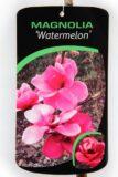 710-04566 Magnolia 'Watermelon'® Magnolia 'Watermelon' 2