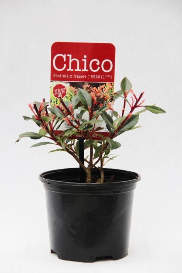 710-04567 Photinia fraseri 'Chico'® Głogownik Frasera 'Chico'