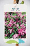 710-04579 Syringa meyeri 'Palibin' Lilak Meyera 'Palibin' 3
