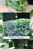 710-04580 Prunus laur. 'Caucasica' Laurowiśnia Wsc…'Caucasica' 2