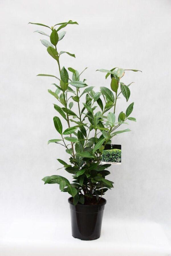710-04580 Prunus laur. 'Caucasica' Laurowiśnia Wsc…ia 'Caucasica1