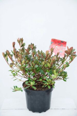 710-04581 Rhododendron (AJ) 'Arabesk' Różaneczn… 'Arabesk' (1