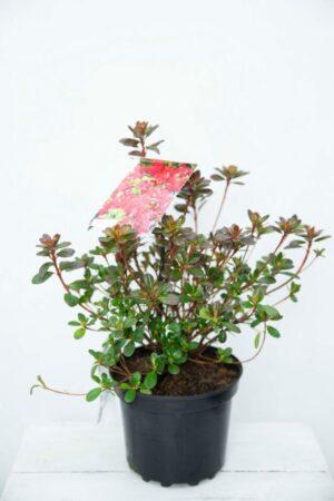 710-04582 Rhododendron (AJ) 'Moederkensdag'Róż…ederkensdag