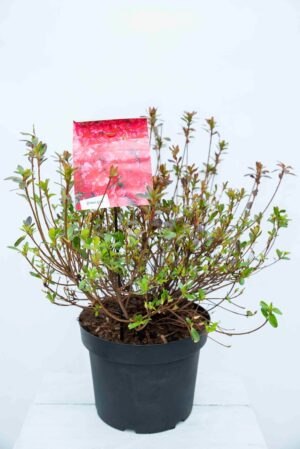 710-04583 Rhododendron (AJ) 'Thierry' Różanecznik 'Thierry'