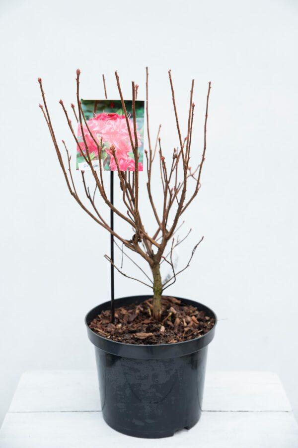 710-04584 Rhododendron (AK) 'Homebush' Różane… 'Homebush'