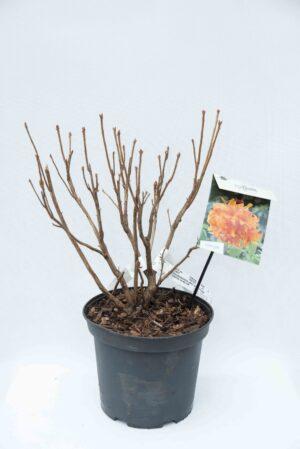 710-04585 Rhododendron (AK) 'Golden Eagle' Różanecznik 'Golden Eagle' (1)