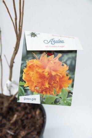 710-04585 Rhododendron (AK) 'Golden Eagle' Różanecznik 'Golden Eagle' (2)