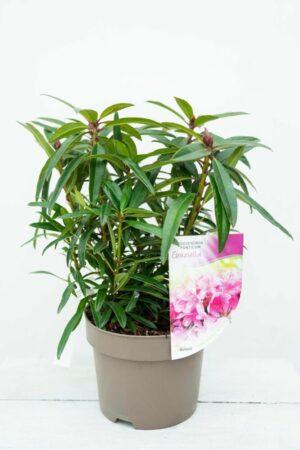 710-04586 Rhododendron (AP) 'Graziella' Różanecznik 'Graziella'