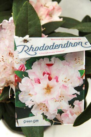 710-04587 Rhododendron (C) 'Christmas Cheer' Róż…mas Cheer' 2