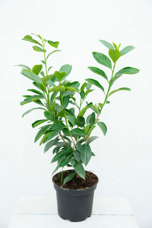710-04591 Prunus laur. 'Caucasica' Laurowiśnia Wsc…ia 'Caucasica1