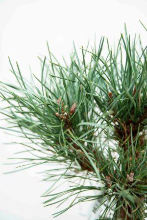 710-04597 Pinus sylv. 'Watereri' Sosna pospolita 'Watereri' (2
