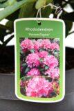 710-04601 Rhododendron 'Roseum Elegans' Różanecznik 'Roseum Elegants' 2
