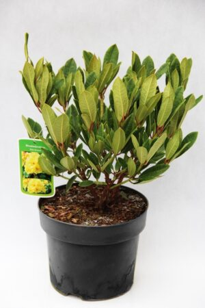 710-04602 Rhododendron 'Elsie Straver' Różaneczn…'Elise Straver'