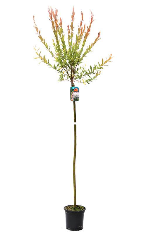 Salix 'Hakuro-Nishiki' Wierzba na pniu