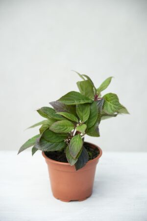 Hortensja bukietowa 'Polestar' (Hydrangea-pan.-Polestar)