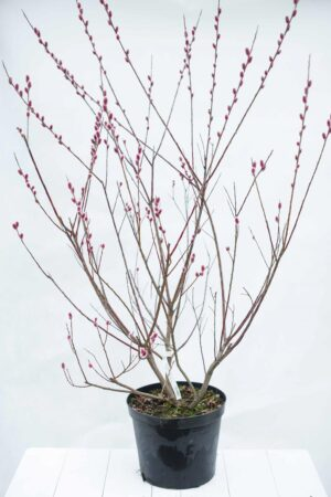 905-0080 Wierzba smukłoszyjkowa Salix gracilistyla 'Mount Aso' C15 (2)