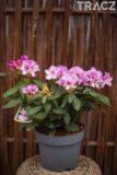 Różanecznik 'Cheer' (łac. Rhododendron 'Cheer')