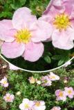 Pięciornik krzewiasty 'Blink' (łac. Potentilla fruticosa 'Blink')